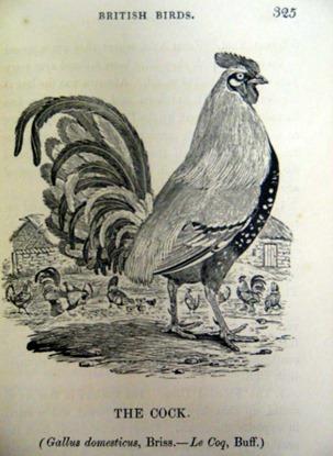 bewick-cock
